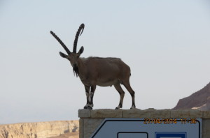 The Handsome Ibex